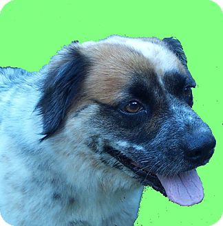 Australian Shepherd Mix Dog for adoption in Morriston, Florida - Sammy