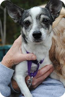 Chihuahua Mix Dog for adoption in Gloucester, Massachusetts - Sandy