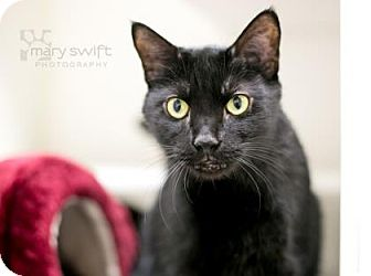Domestic Shorthair Cat for adoption in Reisterstown, Maryland - Midnight