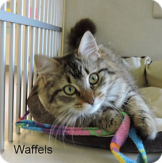 Domestic Longhair Kitten for adoption in Slidell, Louisiana - Waffels