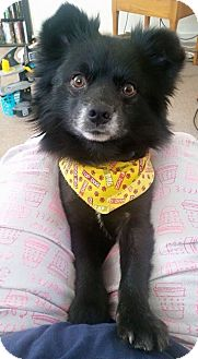 Pomeranian Mix Dog for adoption in South Park, Pennsylvania - Leo