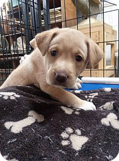 Labrador Retriever Mix Puppy for adoption in Westminster, Maryland - Sophia White