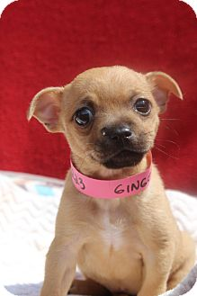 Chihuahua Mix Puppy for adoption in Waldorf, Maryland - Ginger