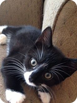 Domestic Shorthair Kitten for adoption in Freeport, New York - Tux
