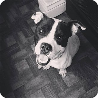 Pit Bull Terrier Mix Dog for adoption in Louisville, Kentucky - MIck