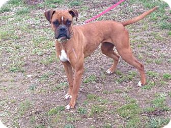 Boxer Dog for adoption in Brentwood, Tennessee - Layla