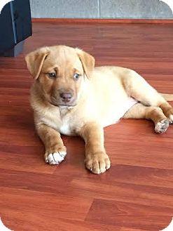 Labrador Retriever Mix Puppy for adoption in Mesa, Arizona - LO 8 WEEK LAB