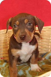 Dachshund Mix Puppy for adoption in Waldorf, Maryland - Omega