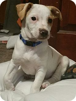 Beagle/Chihuahua Mix Puppy for adoption in Manhattan, Kansas - Chewy