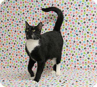 Domestic Shorthair Cat for adoption in Stockton, California - Hennessy