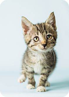 Domestic Shorthair Kitten for adoption in Hendersonville, North Carolina - Freedom
