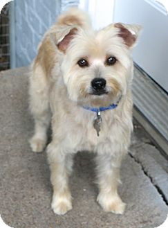 Schnauzer (Miniature)/Terrier (Unknown Type, Small) Mix Dog for adoption in Bedminster, New Jersey - Dryden