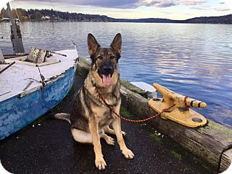 German Shepherd Dog Dog for adoption in Woodinville, Washington - Viktor