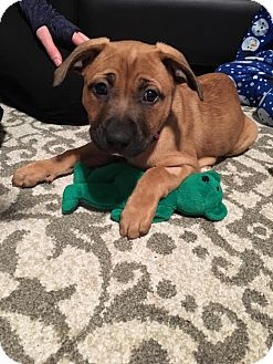 Labrador Retriever/Pit Bull Terrier Mix Puppy for adoption in Sterling, Massachusetts - RORY