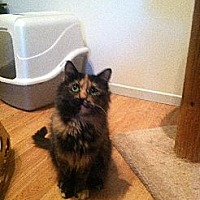 Domestic Mediumhair Cat for adoption in Los Angeles, California - Luna (bonded to Stella)