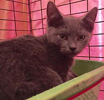 Russian Blue Cat for adoption in Orlando, Florida - Pooja