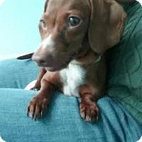Adopt A Pet :: CoCoPoo - North Brunswick, NJ