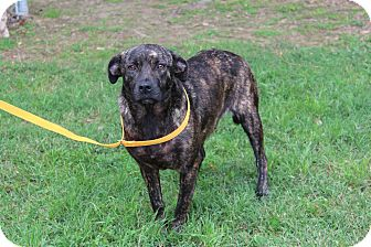 Plott Hound/Terrier (Unknown Type, Small) Mix Dog for adoption in Conway, Arkansas - Enya