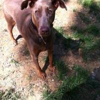 Adopt A Pet :: Cinnamon B - Manassas Park, VA