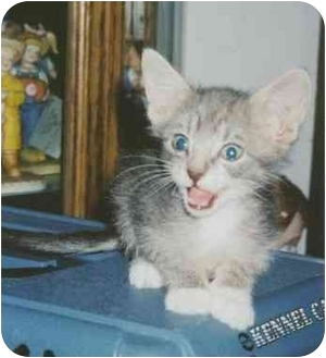 Domestic Shorthair Cat for adoption in Owatonna, Minnesota - Mario