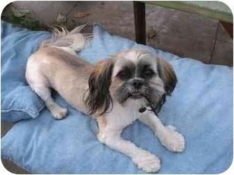 Shih Tzu Dog for adoption in Van Nuys, California - Dewey