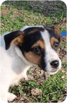 Jack Russell Terrier Mix Puppy for adoption in Braintree, Massachusetts - Little Bradlely