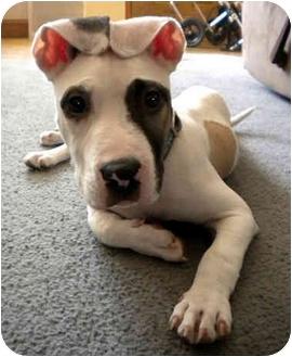 American Pit Bull Terrier Mix Dog for adoption in Philadelphia, Pennsylvania - Paco