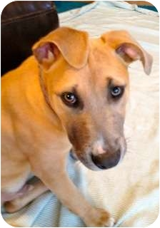 American Staffordshire Terrier/American Pit Bull Terrier Mix Puppy for adoption in Rowlett, Texas - Luke