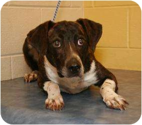 Blue Heeler/Hound (Unknown Type) Mix Dog for adoption in Clarksville, Tennessee - Jessy