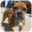 Photo 1 - Boxer Mix Dog for adoption in Gaffney, South Carolina - Patty