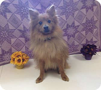 Pomeranian Mix Dog for adoption in Larned, Kansas - Bert