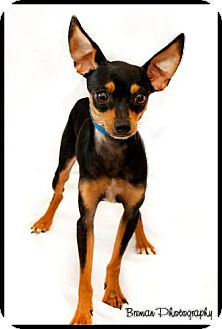 Miniature Pinscher Mix Dog for adoption in Houston, Texas - Jackson