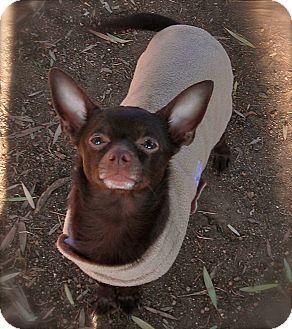 Chihuahua Dog for adoption in El Cajon, California - Hershey