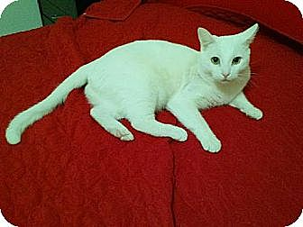 Domestic Shorthair Cat for adoption in Los Angeles, California - Queen