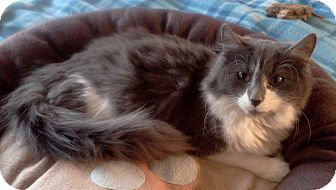 Domestic Longhair Kitten for adoption in ST LOUIS, Missouri - Fred