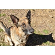 German Shepherd Dog Mix Dog for adoption in Houston, Texas - Sterling