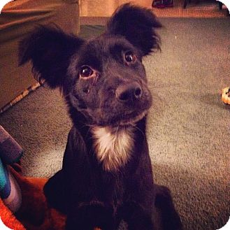 Border Collie/Shepherd (Unknown Type) Mix Puppy for adoption in Baltimore, Maryland - Millie
