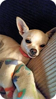 Chihuahua Puppy for adoption in Winnetka, California - ZOEY