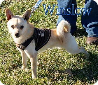 Chihuahua Dog for adoption in Lewisburg, West Virginia - Winslow