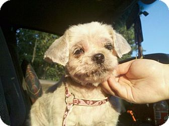 Shih Tzu Dog for adoption in Seahurst, Washington - Juniper