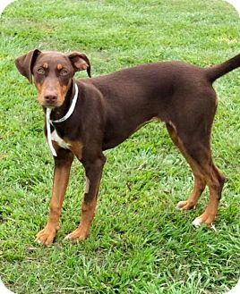 Doberman Pinscher Mix Dog for adoption in New Smyrna beach, Florida - Kiki