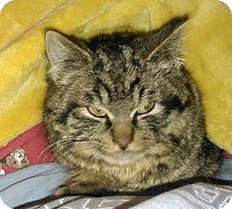 Domestic Shorthair Cat for adoption in Muskegon, Michigan - Alfred