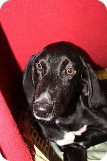Labrador Retriever Mix Dog for adoption in Waldorf, Maryland - Earl