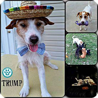 Jack Russell Terrier Mix Dog for adoption in Kimberton, Pennsylvania - Trump