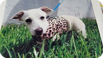 Chihuahua/Dachshund Mix Puppy for adoption in Palmetto Bay, Florida - Sebastian 2