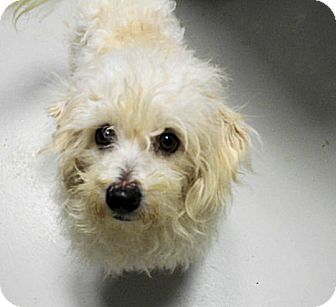Maltese/Poodle (Miniature) Mix Dog for adoption in Hartford, Kentucky - Fluffy