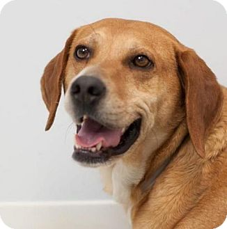 Labrador Retriever/Hound (Unknown Type) Mix Dog for adoption in Batavia, Ohio - Abbie