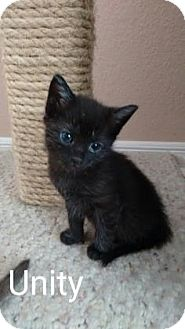 Domestic Shorthair Kitten for adoption in Fountain Hills, Arizona - UNITY