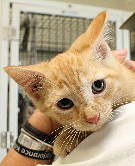 Domestic Shorthair Kitten for adoption in Fort Madison, Iowa - Swiss