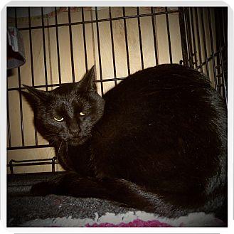 Bombay Cat for adoption in Medford, Wisconsin - BANDIT
